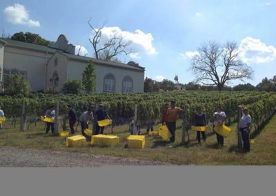 morais-vinyards-and-winery-the-winery-process-harvest-1-400x284 Process
